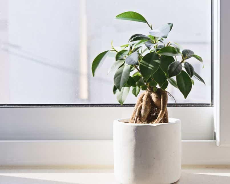 Ficus Bonsai - Fig tree
