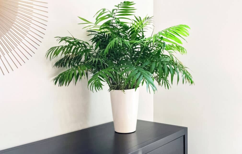Parlor palm - best indoor trees for low light conditions