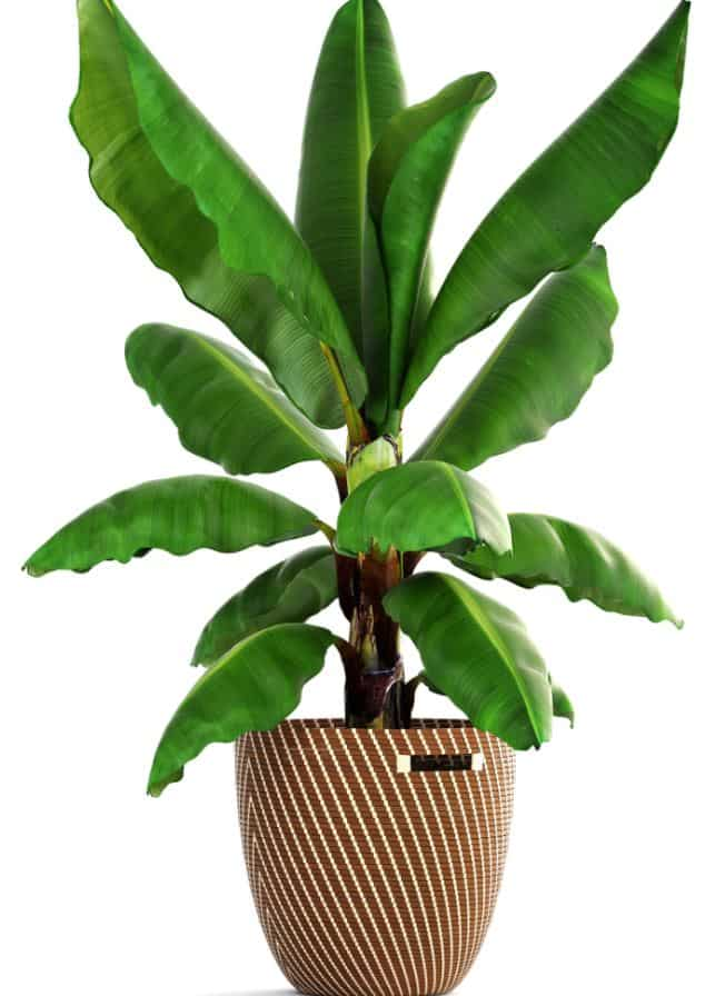Potted dwarf banana tree - indoor low light plant