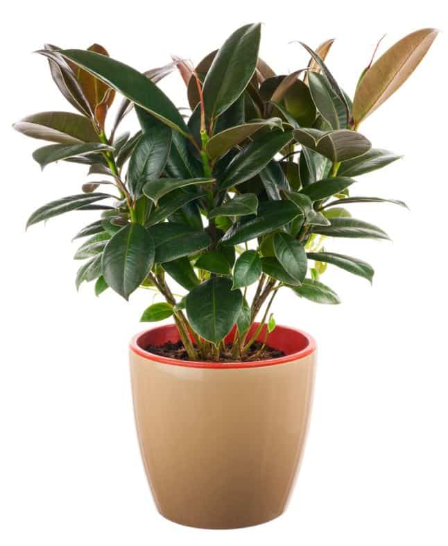 Rubber Tree - Large Indoor Trees for Low Light