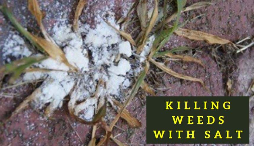 Does Killing Weeds with Salt Work