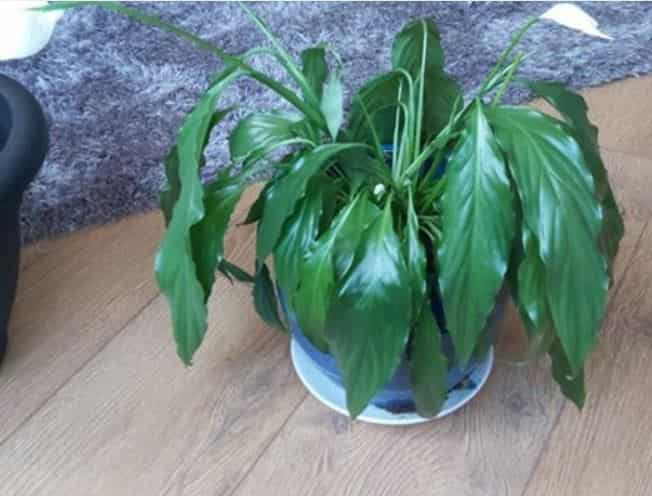 Droopy peace lily - how to revive it-when wilting