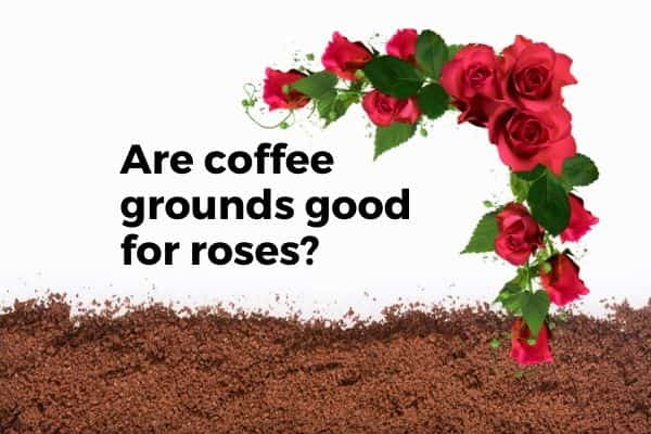Coffee grounds for roses