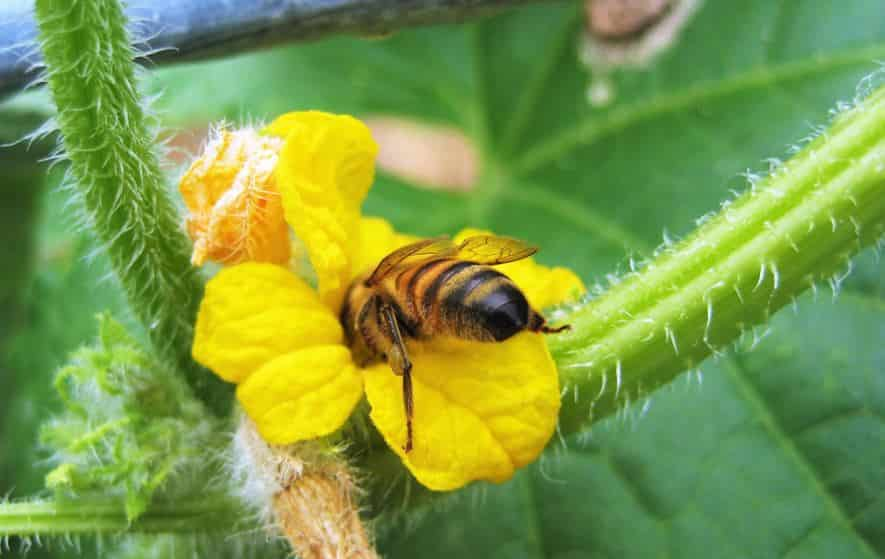 Cucumber flowers with bee inside