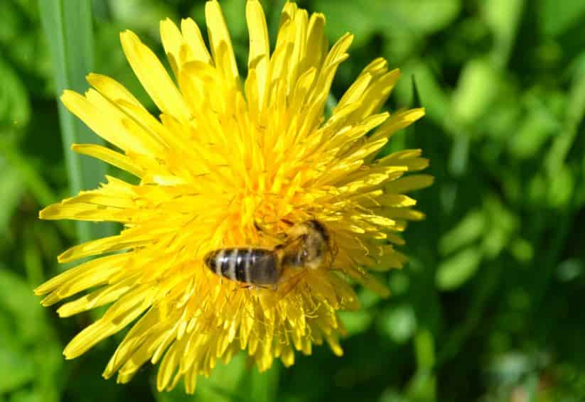 Dandelions are flowers that attract bees in your garden