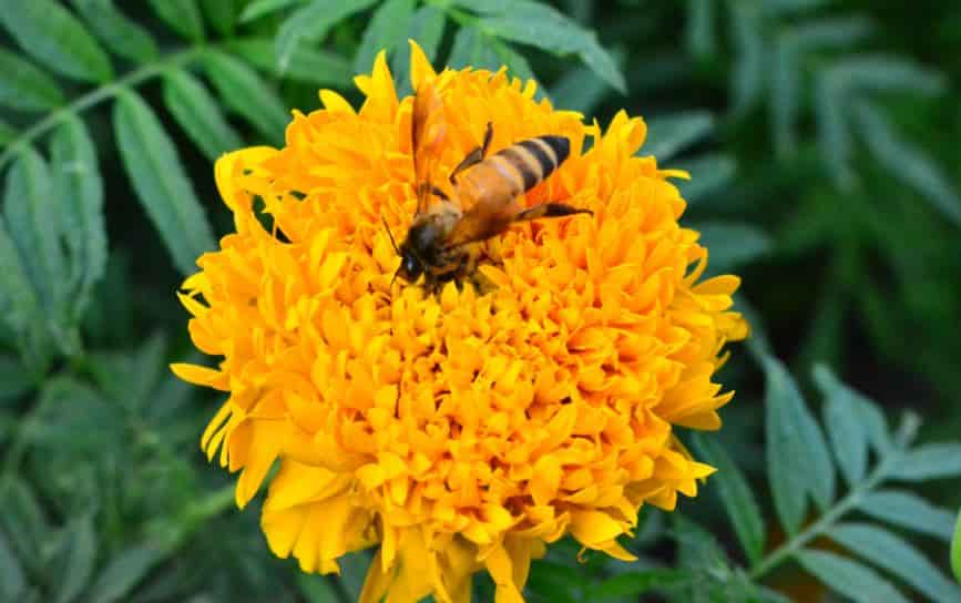 Flowers that attract bees - Marigold plant