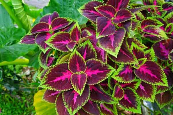 Is coleus a sun or shade plant