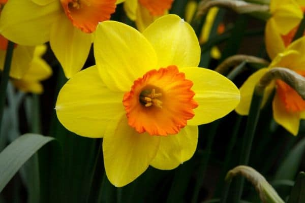 Narcissus vs Daffodils vs Jonquils - differences