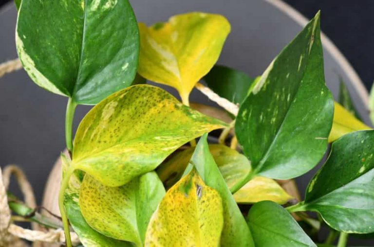 Yellow pothos leaves