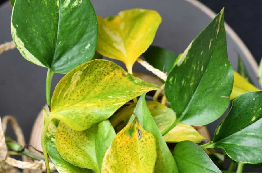 Yellow pothos leaves