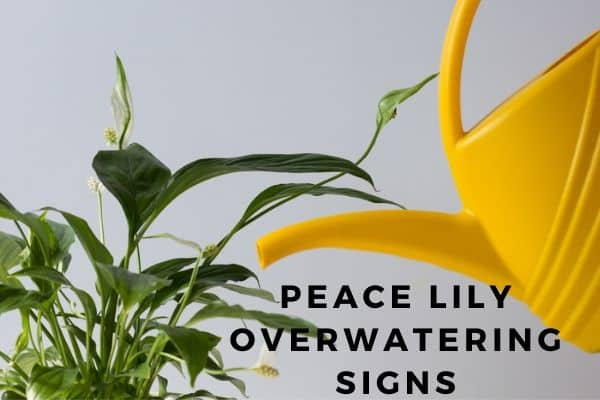 peace lily ovewatering signs and how to heal the plant