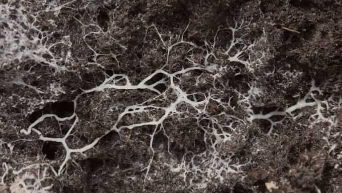Mushroom mycellium help decompose organic matter
