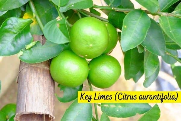 Types of Lime Trees - Key Limes fruit