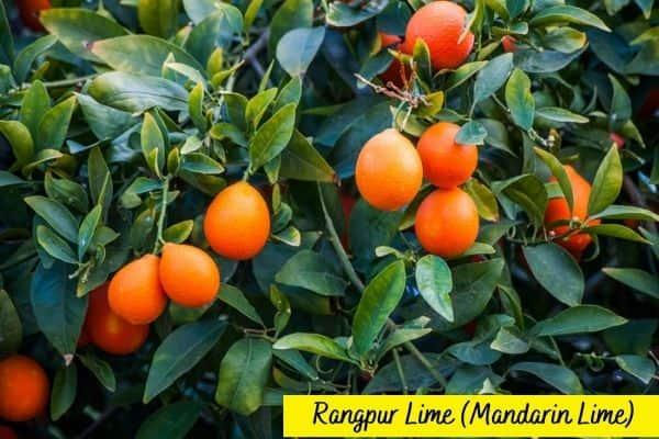 Types of lime trees - Rangpur lime - Mandarin lime