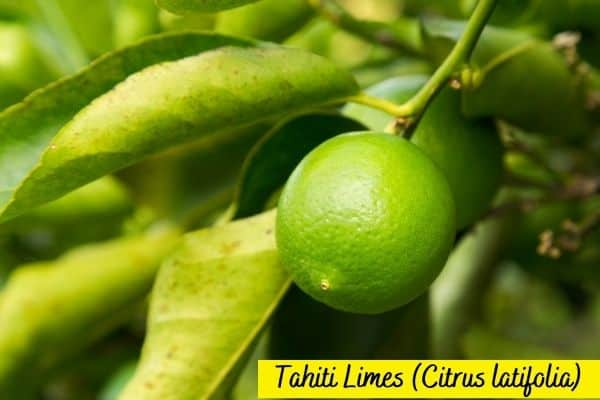 Types of lime - Tahiti Lime - Persian Lime