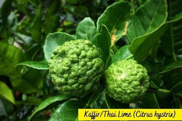 Types of lime trees - thai lime - kaffir lime-min