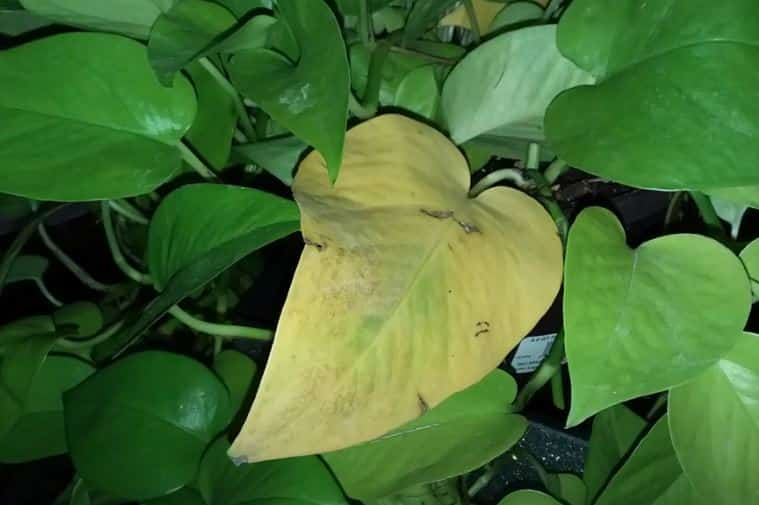 Old leaves can also fall off your pothos plant