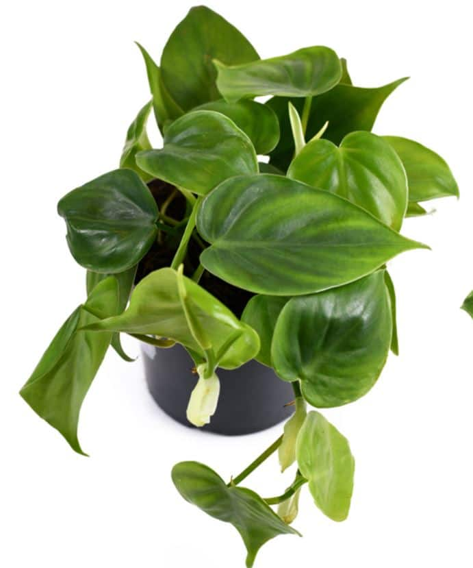 Philodendron vs pothos - Philodendron identification