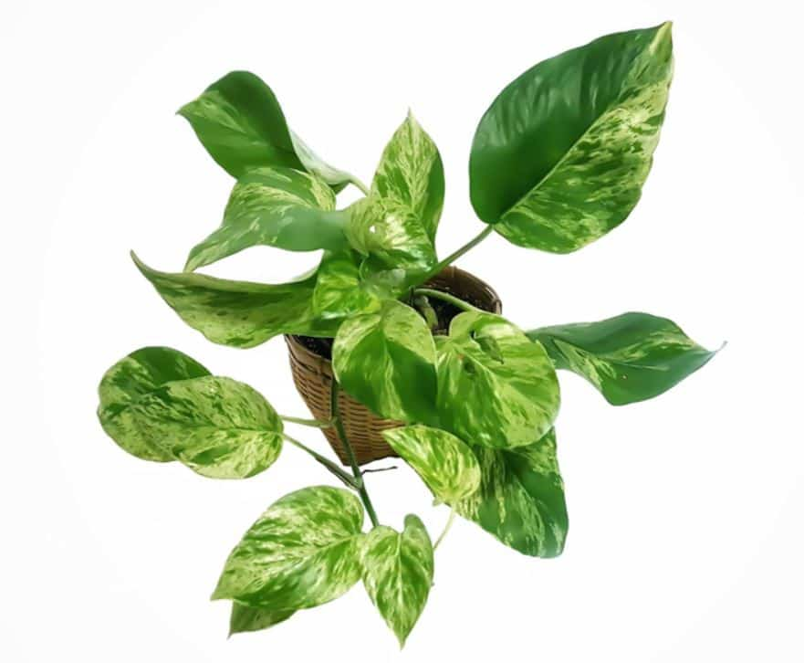 Pothos vs Philodendron - Identification pictures