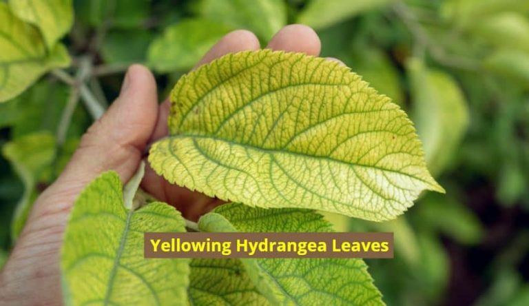 Hydrangea leaves turning yellow - why