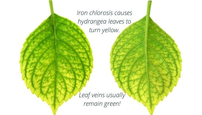 Iron chlorosis causes hydrangea leaves to turn yellow