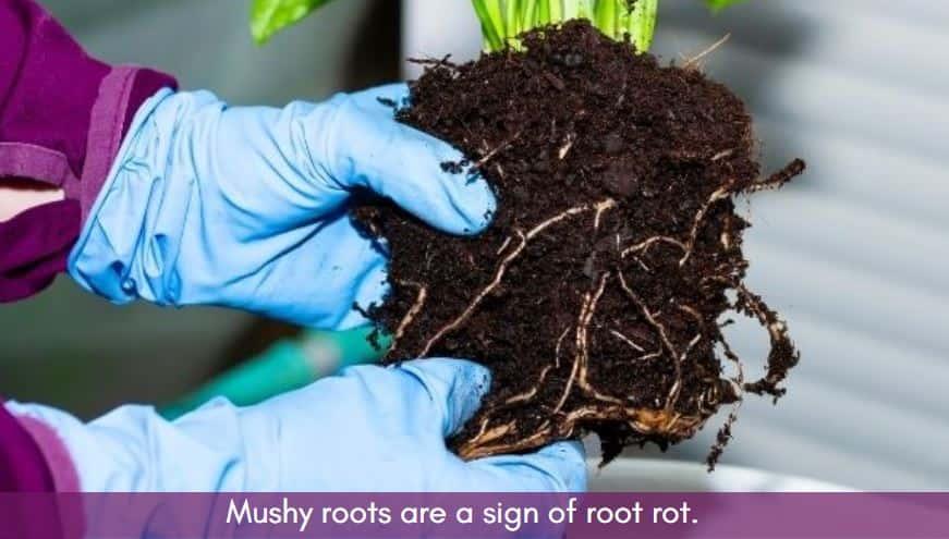 Pothos root rot