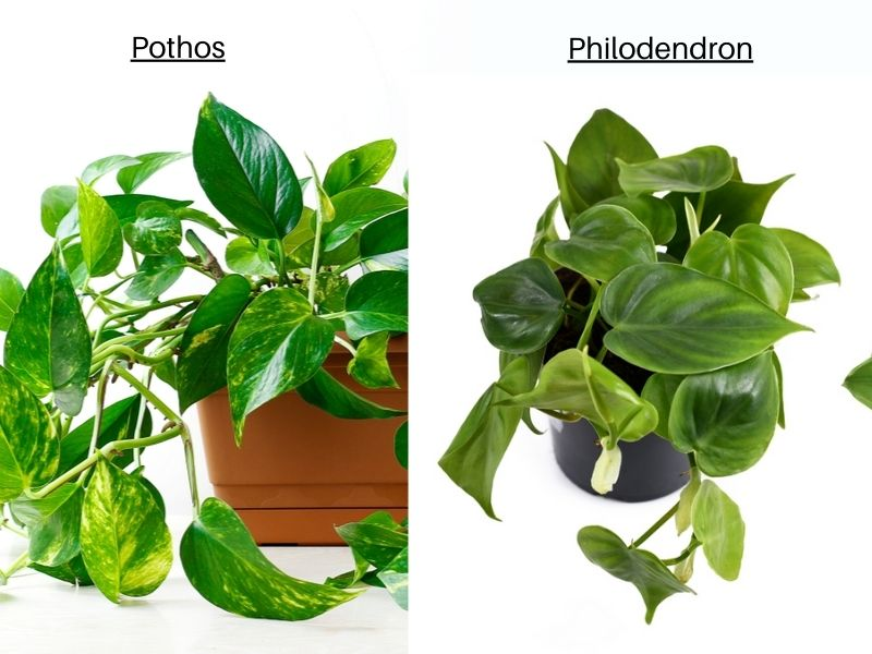 Pothos vs Philodendron - leaf shape-and texture