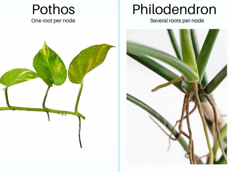 Pothos vs Philodendron - roots per node