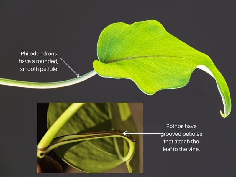 Pothos vs Philodendron - rounded vs grooved petioles