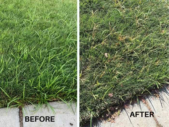Ortho nutsedge killer before and after