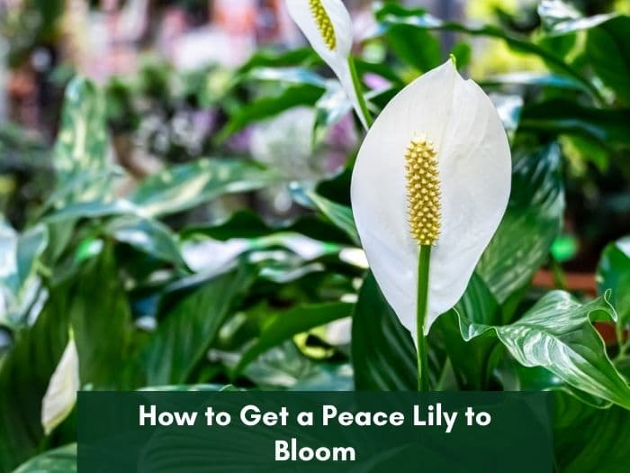 Peace lily not flowering and how to make it bloom.