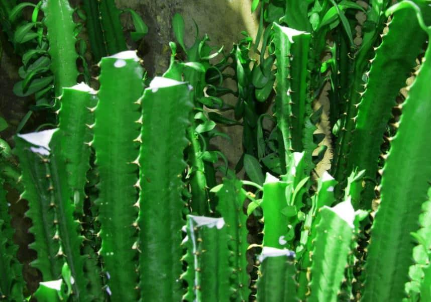Cactus milk - african milk tree