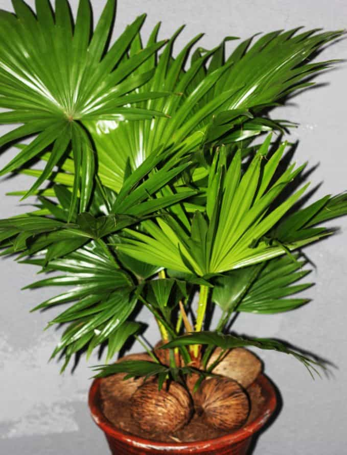 Chinese fan palm indoor tree-min