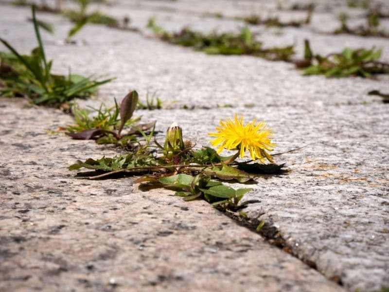 Does bleach kill weeds permanently