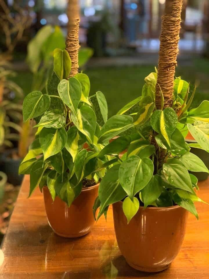Heartleaf philodendron - great east facing window plants