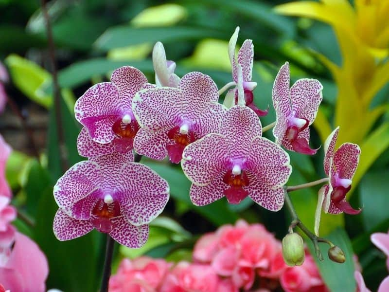 East facing window plants - moth orchid