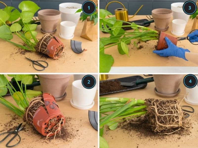 How to treat monstera root rot