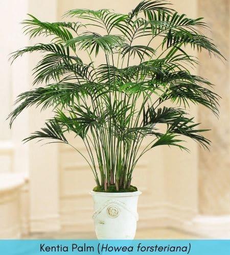 Kentia Palm for indoor plants