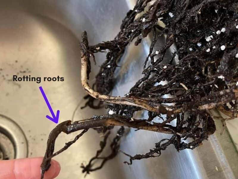 Monstera root rot signs
