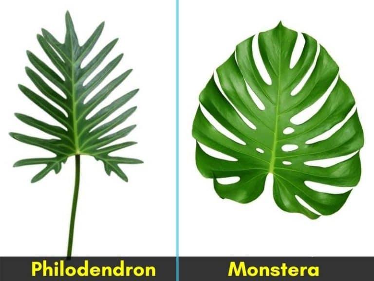 Philodendron vs monstera