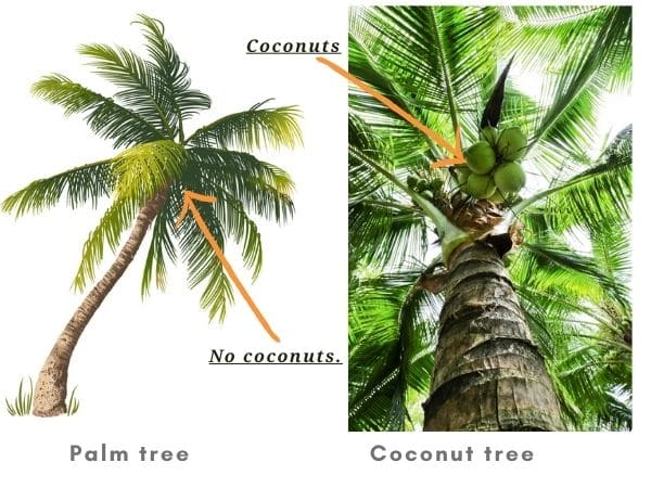 Palm tree vs coconut tree - Differences