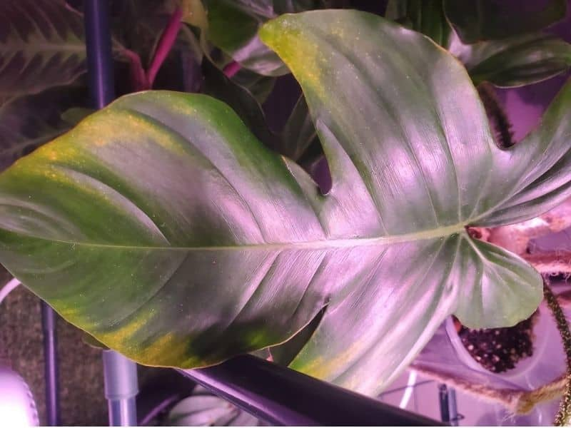 Philodendron leaves turning yellow