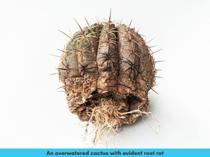 Save an overwatered cactus