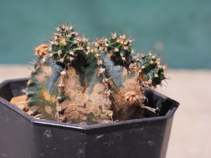 Signs of an overwatered cactus