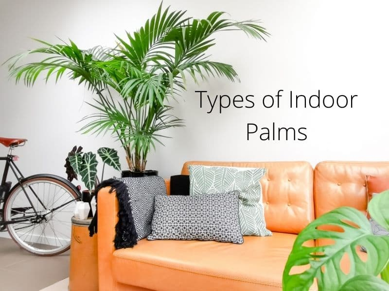 Types of Indoor Palms-Trees