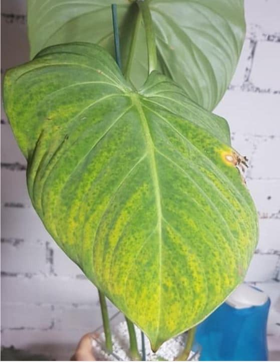 Yellowing philodendron leaves due to overwatering.