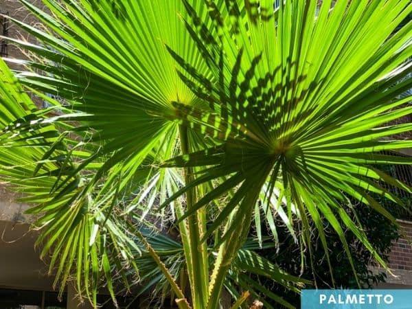 palmetto tree