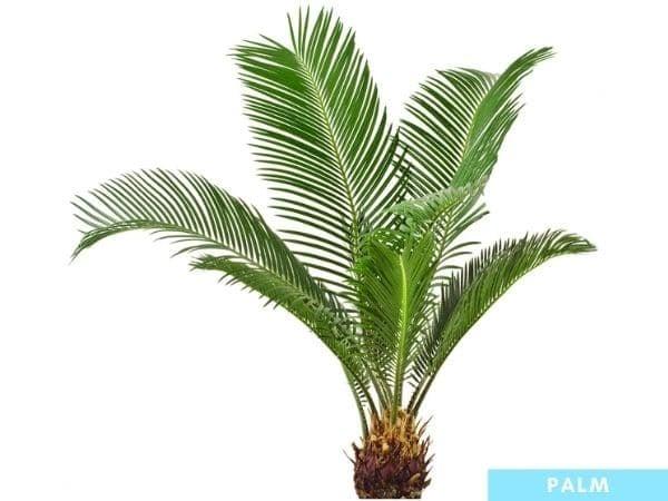 palmetto vs palm tree - differences