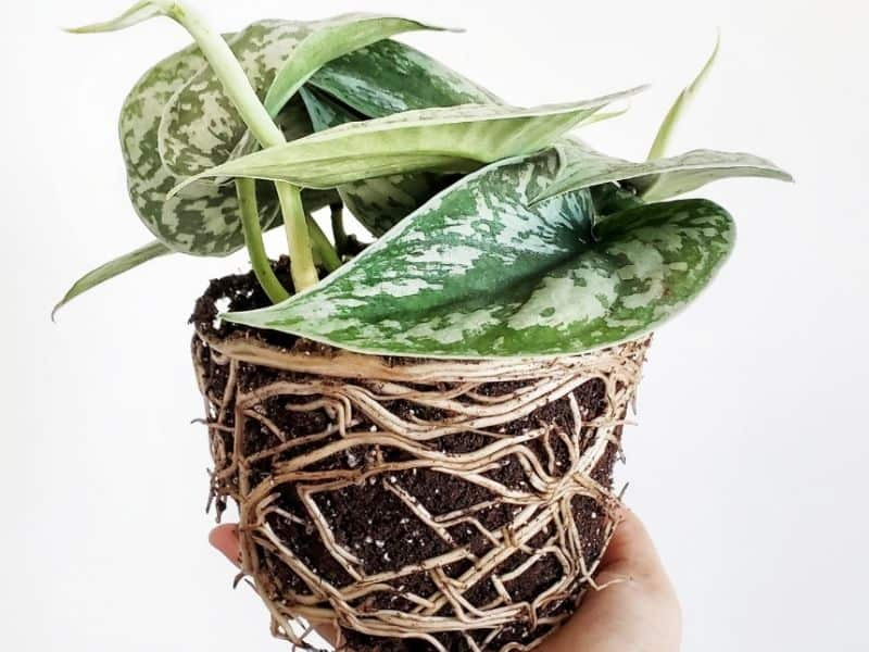 Spiraling roots are a sign your pothos is root bound.
