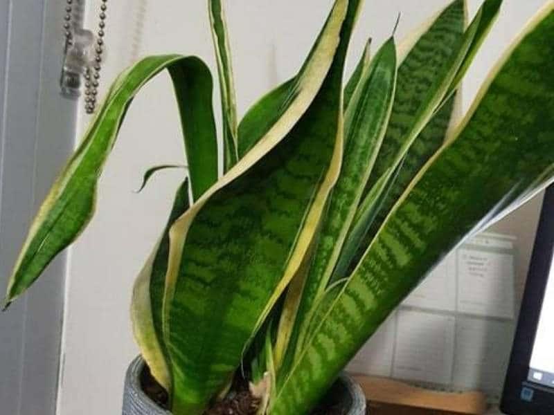 Curling snake plant leaves